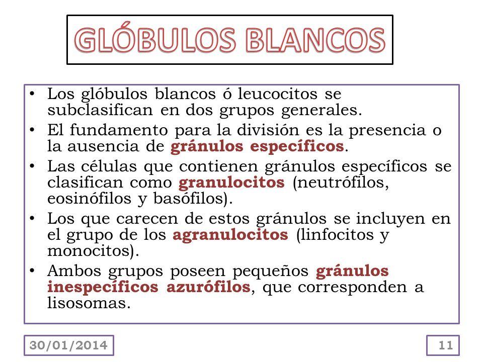 GLÓBULOS BLANCOS Los glóbulos blancos ó leucocitos se subclasifican en dos grupos generales.