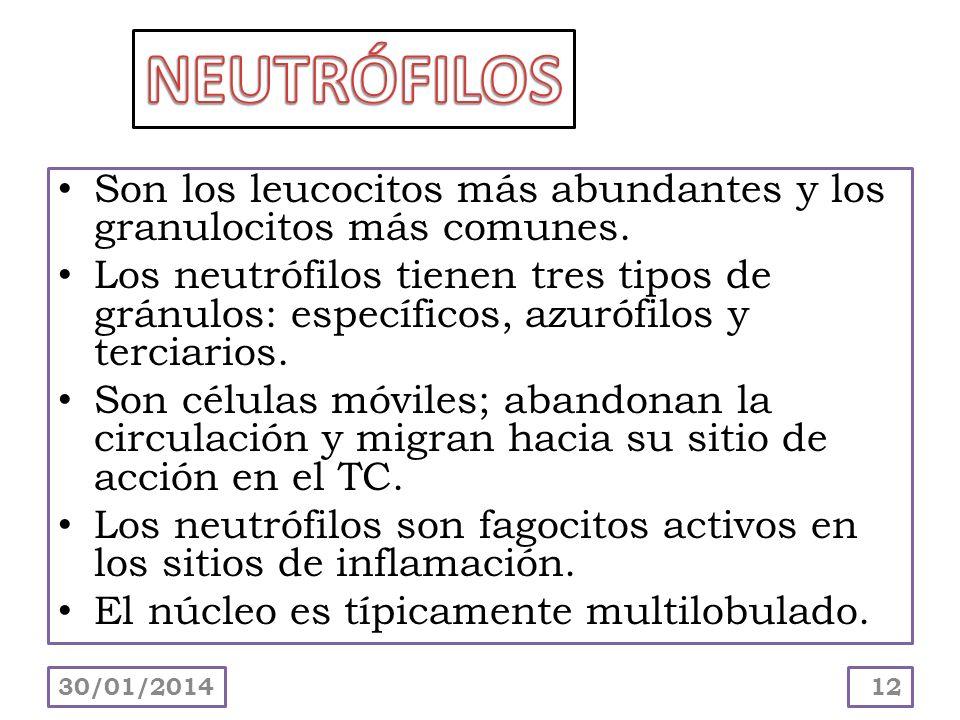 NEUTRÓFILOS Son los leucocitos más abundantes y los granulocitos más comunes.