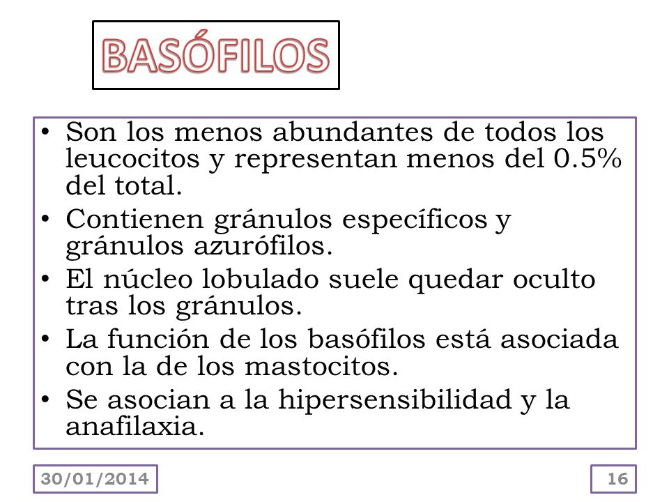 BASÓFILOS Son los menos abundantes de todos los leucocitos y representan menos del 0.5% del total.