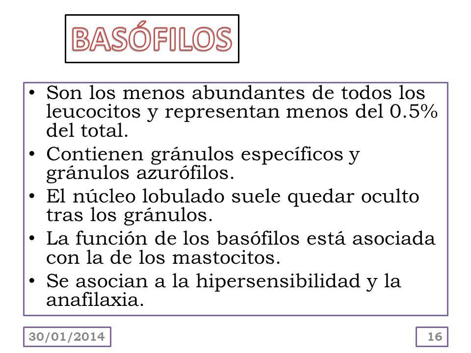 BASÓFILOSSon los menos abundantes de todos los leucocitos y representan menos del 0.5% del total.