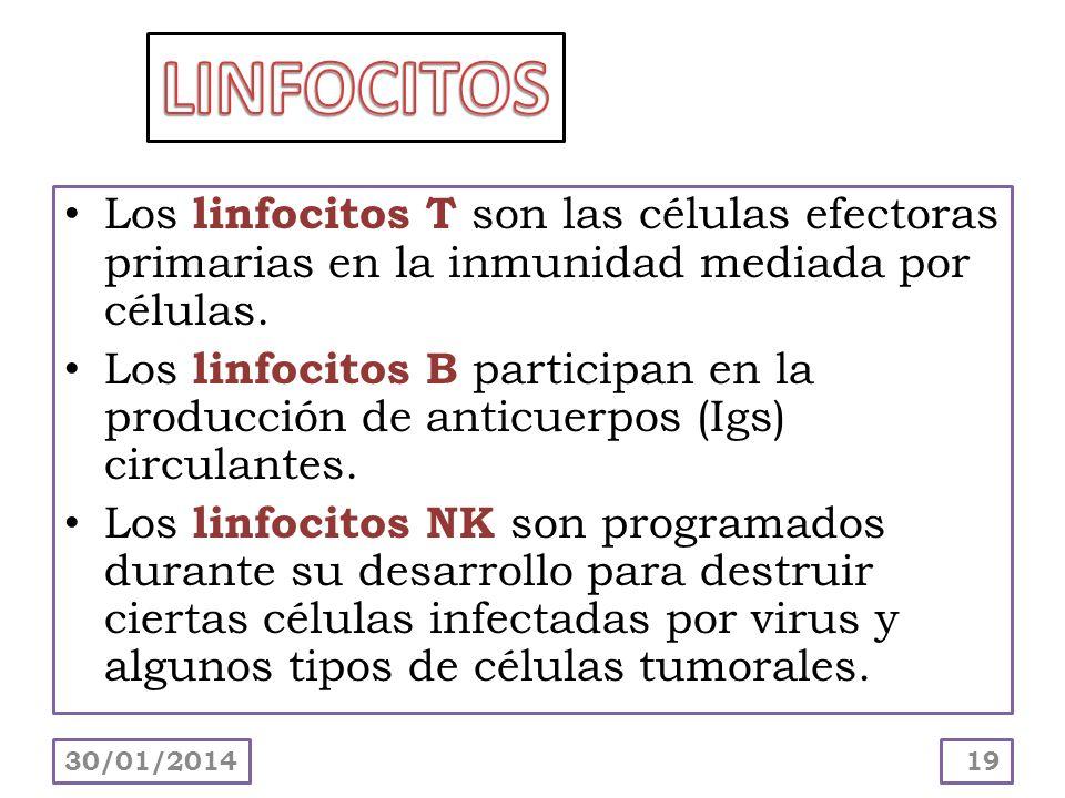 LINFOCITOS Los linfocitos T son las células efectoras primarias en la inmunidad mediada por células.