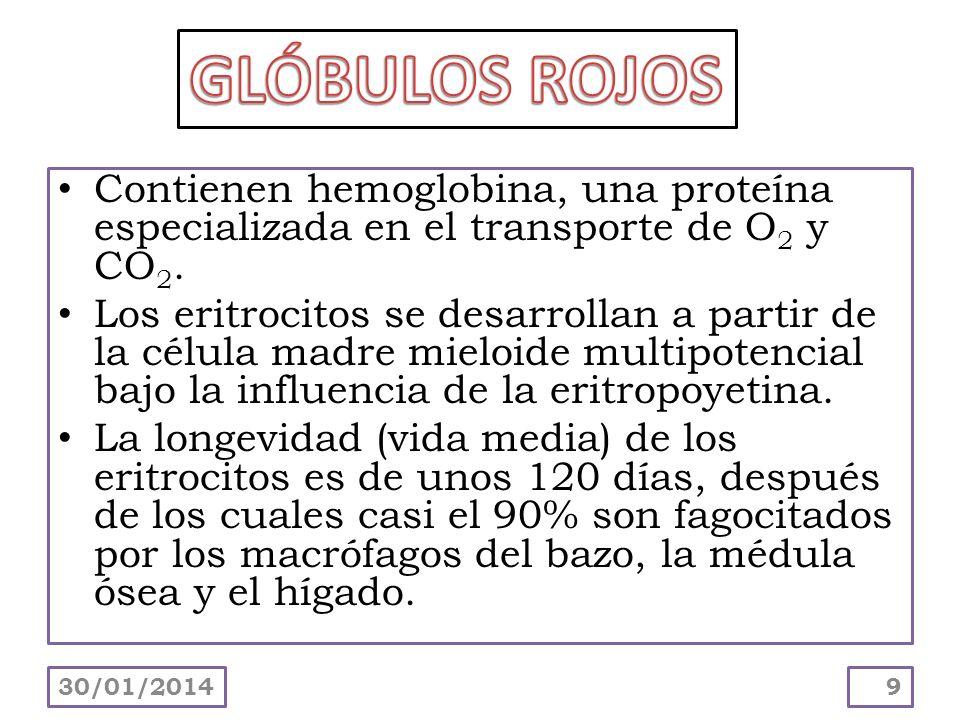 GLÓBULOS ROJOS Contienen hemoglobina, una proteína especializada en el transporte de O2 y CO2.