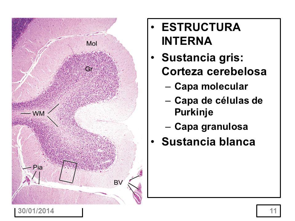 Sustancia gris: Corteza cerebelosa
