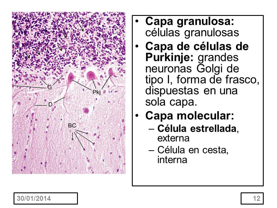 Capa granulosa: células granulosas