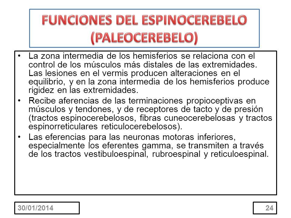 FUNCIONES DEL ESPINOCEREBELO (PALEOCEREBELO)