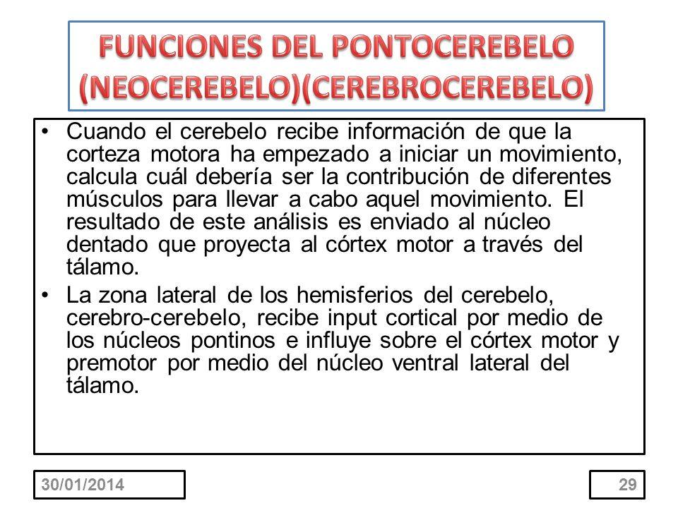 FUNCIONES DEL PONTOCEREBELO (NEOCEREBELO)(CEREBROCEREBELO)