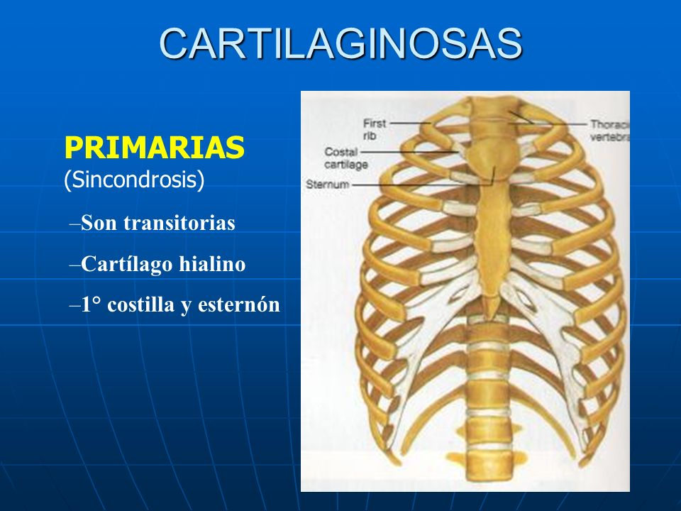 CARTILAGINOSAS PRIMARIAS (Sincondrosis) Son transitorias