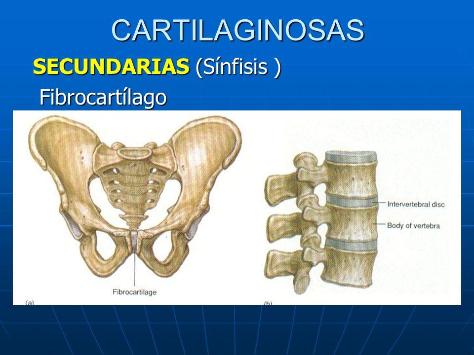 CARTILAGINOSAS SECUNDARIAS (Sínfisis ) Fibrocartílago