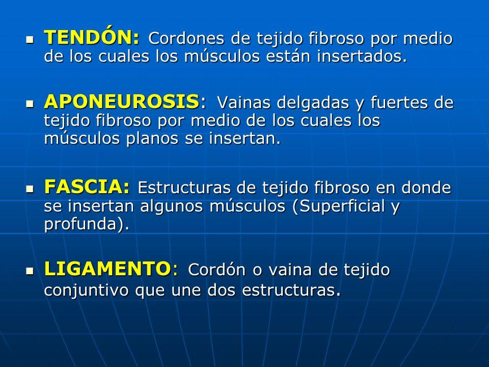 TENDÓN: Cordones de tejido fibroso por medio de los cuales los músculos están insertados.