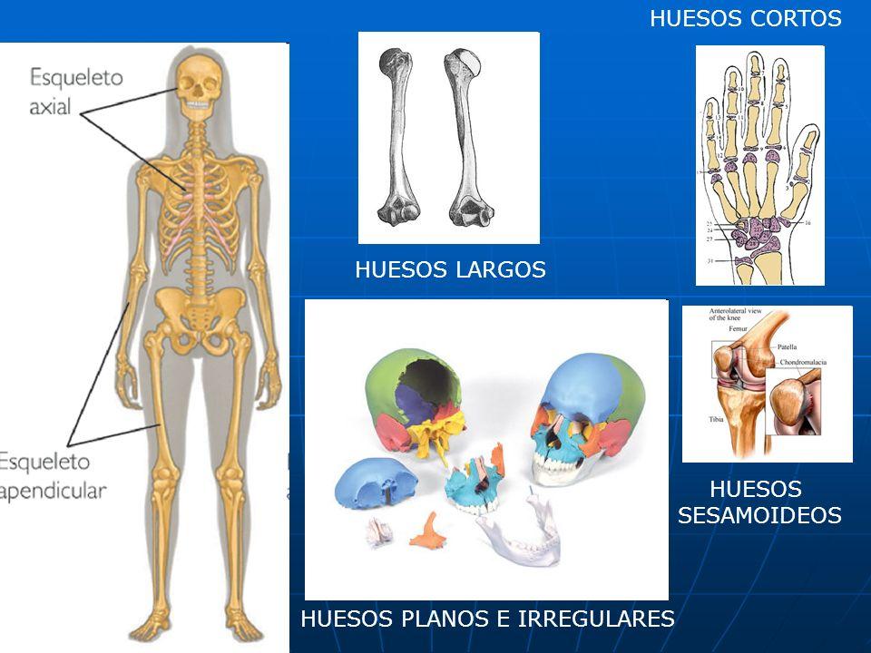 HUESOS CORTOS HUESOS LARGOS HUESOS SESAMOIDEOS HUESOS PLANOS E IRREGULARES