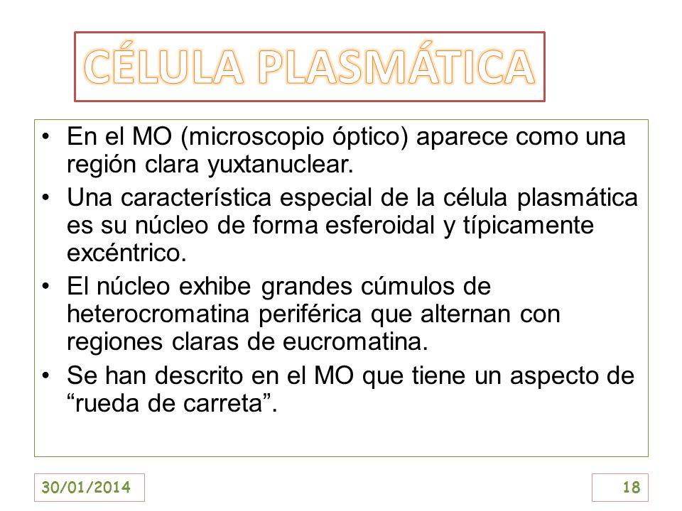 CÉLULA PLASMÁTICA En el MO (microscopio óptico) aparece como una región clara yuxtanuclear.