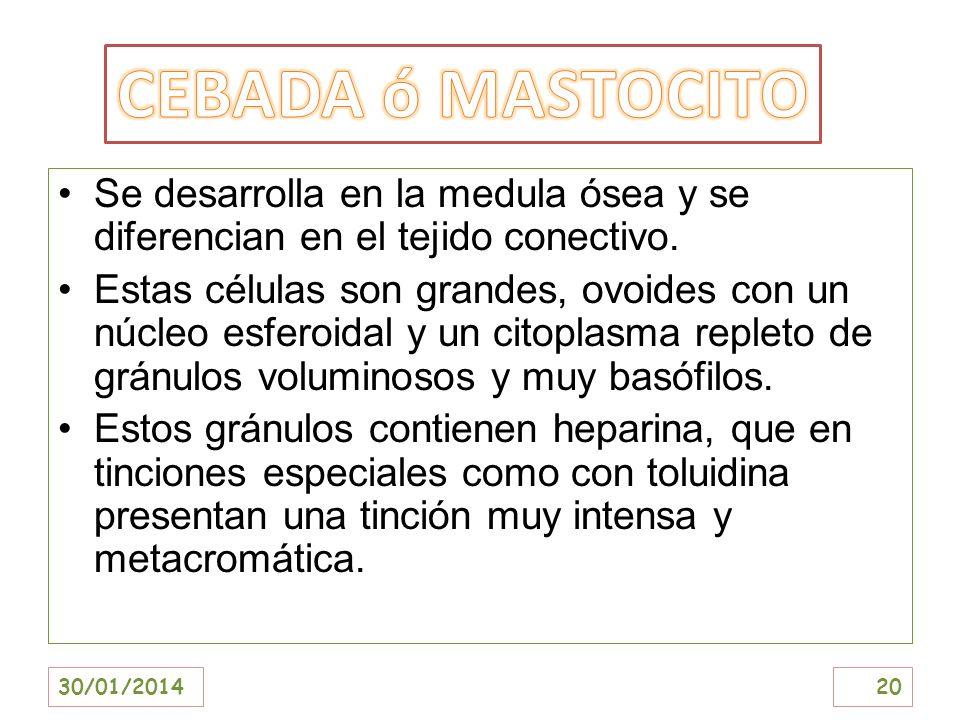 CEBADA ó MASTOCITO Se desarrolla en la medula ósea y se diferencian en el tejido conectivo.