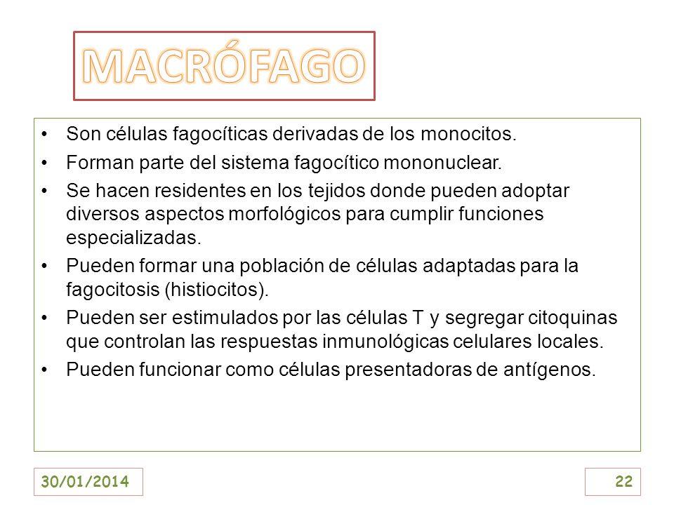 MACRÓFAGO Son células fagocíticas derivadas de los monocitos.