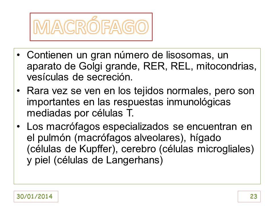 MACRÓFAGOContienen un gran número de lisosomas, un aparato de Golgi grande, RER, REL, mitocondrias, vesículas de secreción.