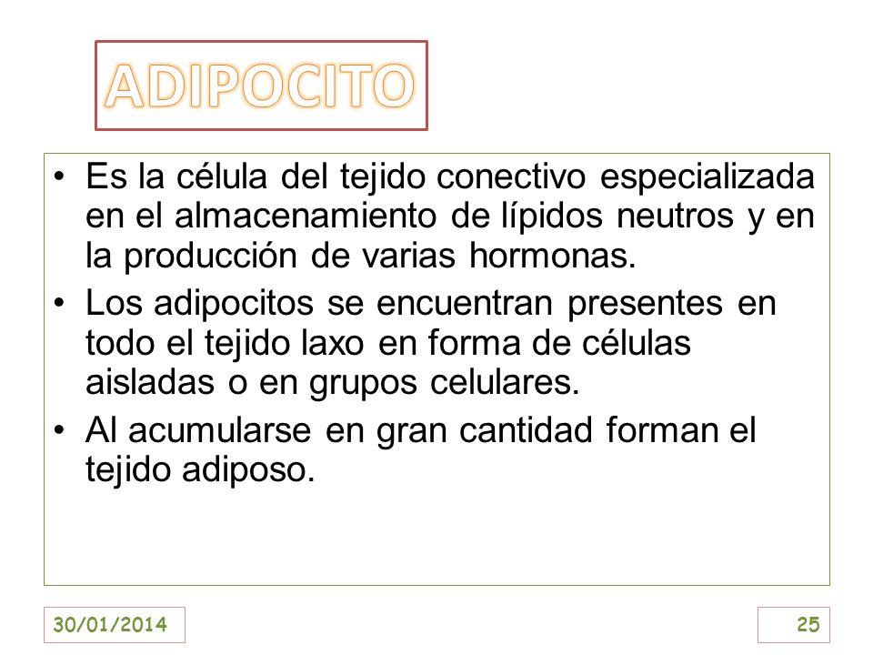 ADIPOCITOEs la célula del tejido conectivo especializada en el almacenamiento de lípidos neutros y en la producción de varias hormonas.