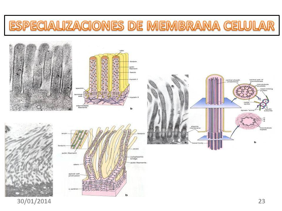 ESPECIALIZACIONES DE MEMBRANA CELULAR