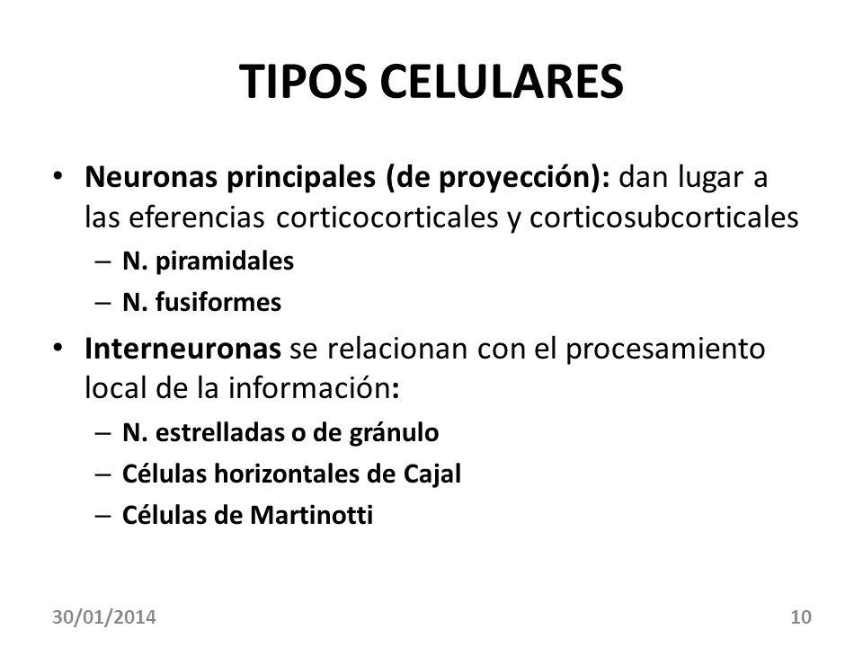 TIPOS CELULARES Neuronas principales (de proyección): dan lugar a las eferencias corticocorticales y corticosubcorticales.