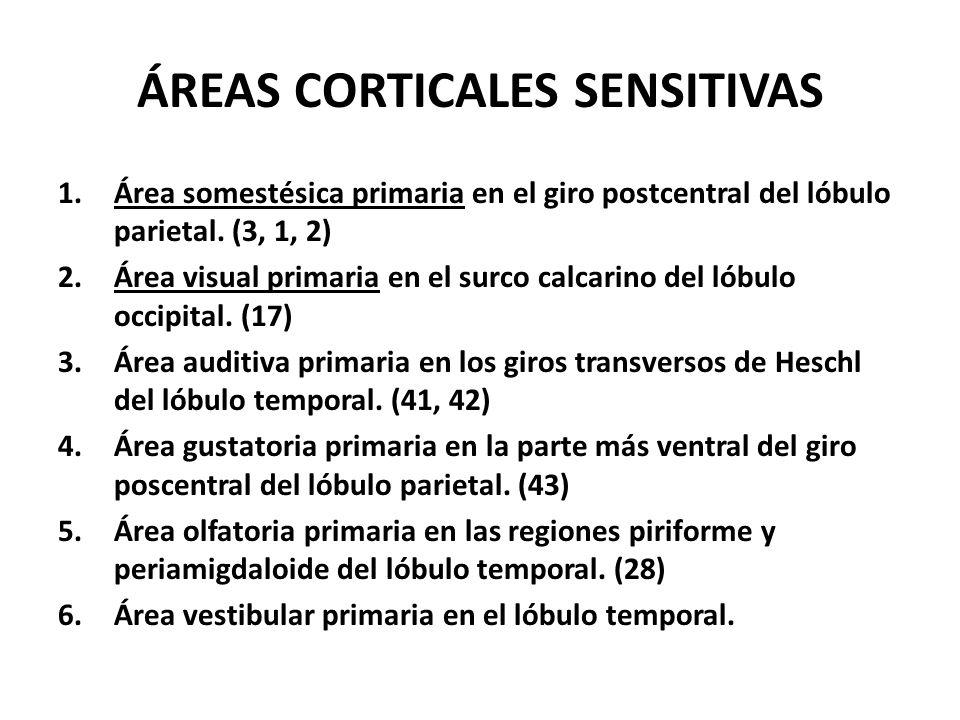 ÁREAS CORTICALES SENSITIVAS