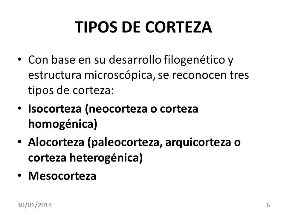 TIPOS DE CORTEZACon base en su desarrollo filogenético y estructura microscópica, se reconocen tres tipos de corteza: