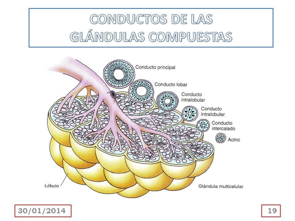 CONDUCTOS DE LAS GLÁNDULAS COMPUESTAS