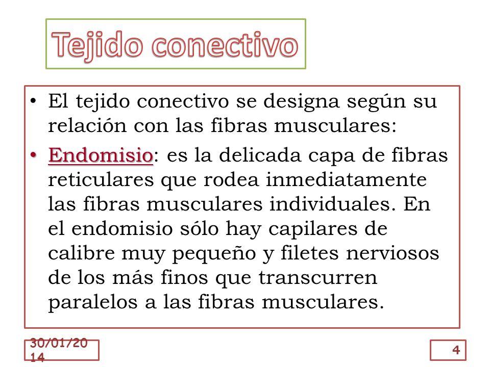 Tejido conectivo El tejido conectivo se designa según su relación con las fibras musculares: