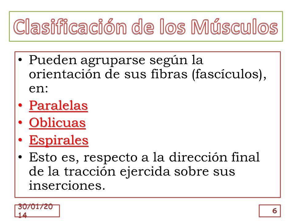 Clasificación de los Músculos