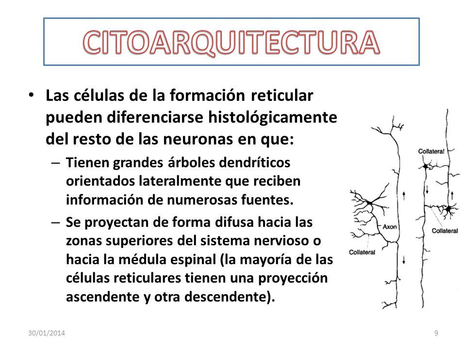 CITOARQUITECTURA Las células de la formación reticular pueden diferenciarse histológicamente del resto de las neuronas en que: