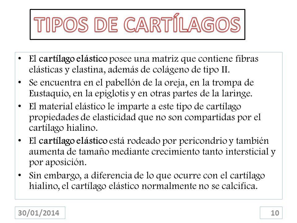 TIPOS DE CARTÍLAGOS El cartílago elástico posee una matriz que contiene fibras elásticas y elastina, además de colágeno de tipo II.
