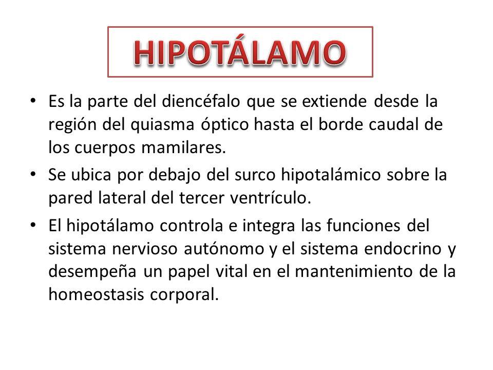 HIPOTÁLAMO Es la parte del diencéfalo que se extiende desde la región del quiasma óptico hasta el borde caudal de los cuerpos mamilares.
