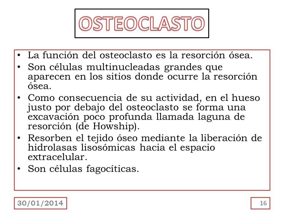 OSTEOCLASTO La función del osteoclasto es la resorción ósea.