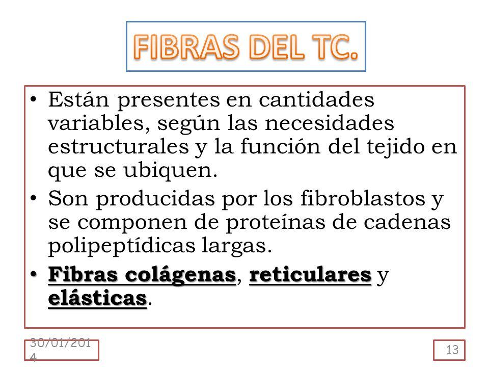 FIBRAS DEL TC. Están presentes en cantidades variables, según las necesidades estructurales y la función del tejido en que se ubiquen.