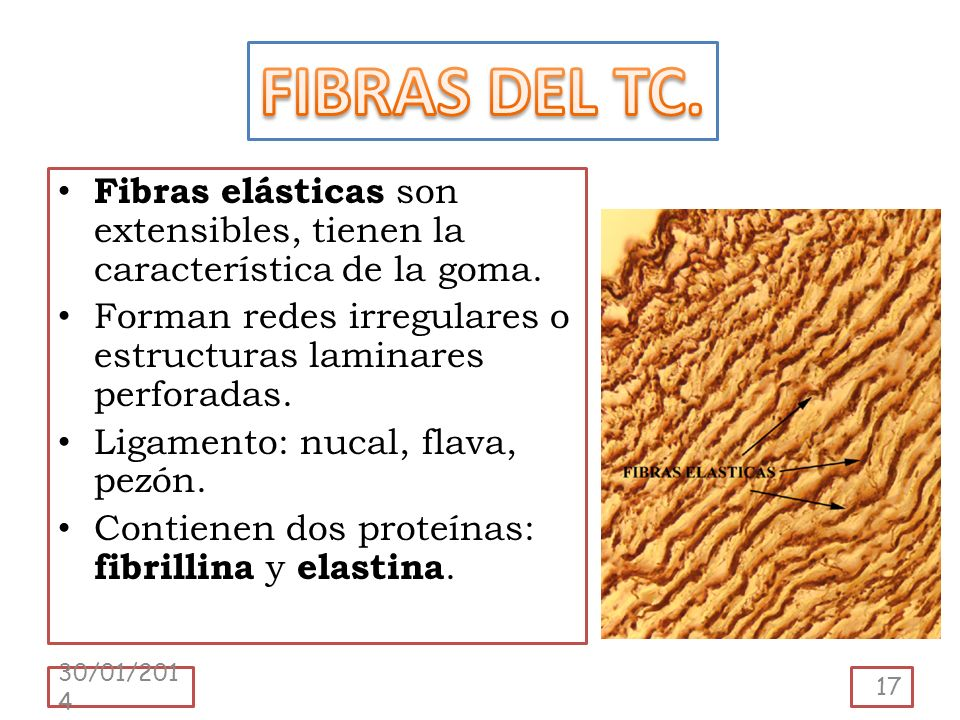 FIBRAS DEL TC. Fibras elásticas son extensibles, tienen la característica de la goma. Forman redes irregulares o estructuras laminares perforadas.