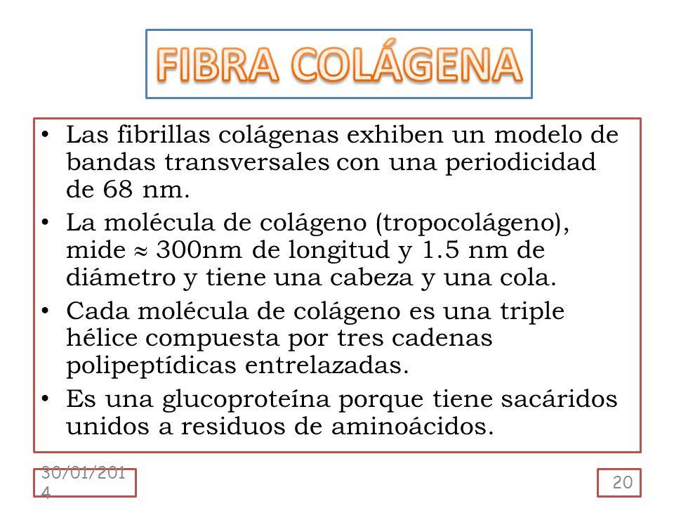 FIBRA COLÁGENA Las fibrillas colágenas exhiben un modelo de bandas transversales con una periodicidad de 68 nm.