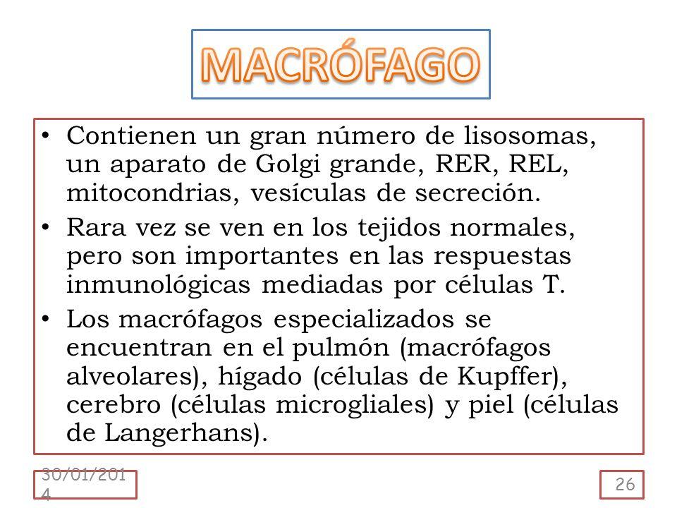 MACRÓFAGO Contienen un gran número de lisosomas, un aparato de Golgi grande, RER, REL, mitocondrias, vesículas de secreción.