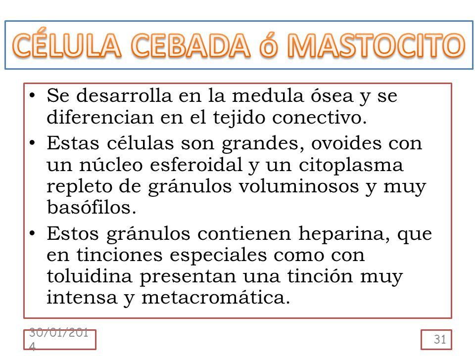 CÉLULA CEBADA ó MASTOCITO