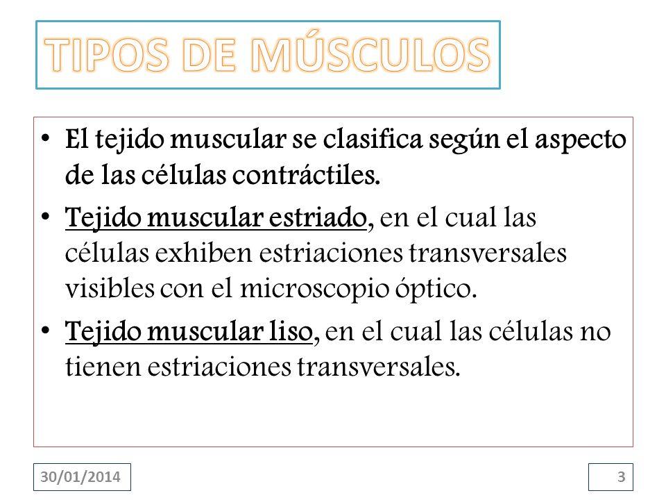 TIPOS DE MÚSCULOSEl tejido muscular se clasifica según el aspecto de las células contráctiles.
