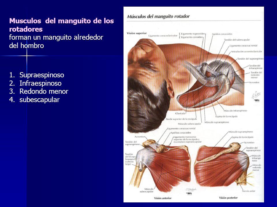 Musculos del manguito de los rotadores