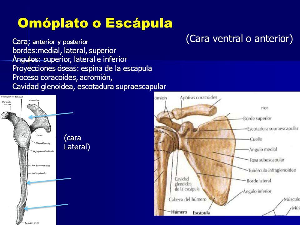 Omóplato o Escápula (Cara ventral o anterior)
