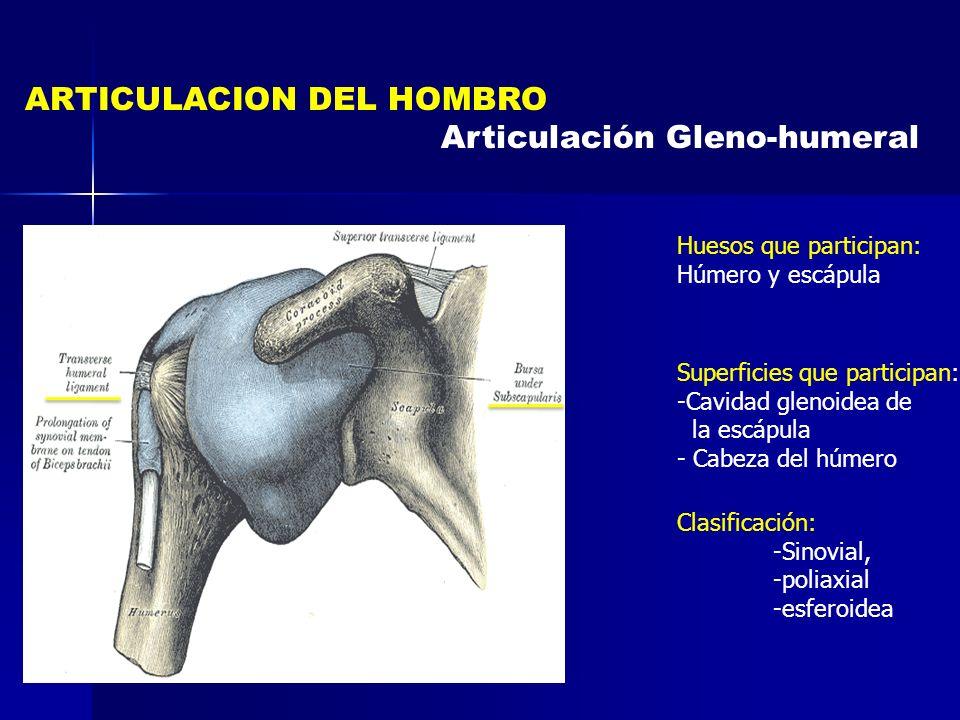 ARTICULACION DEL HOMBRO Articulación Gleno-humeral