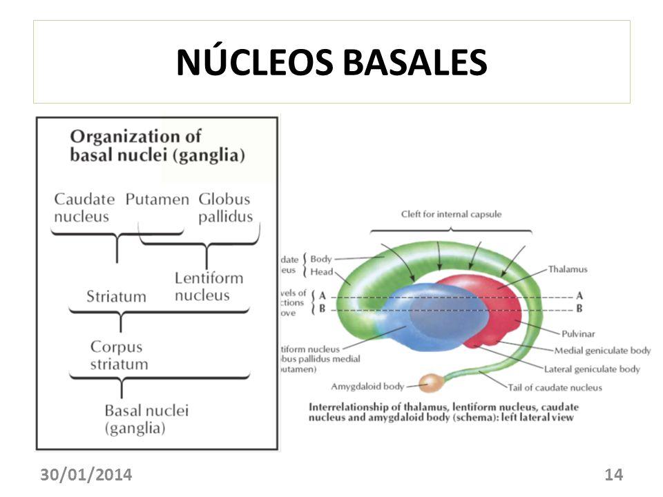 NÚCLEOS BASALES 24/03/2017