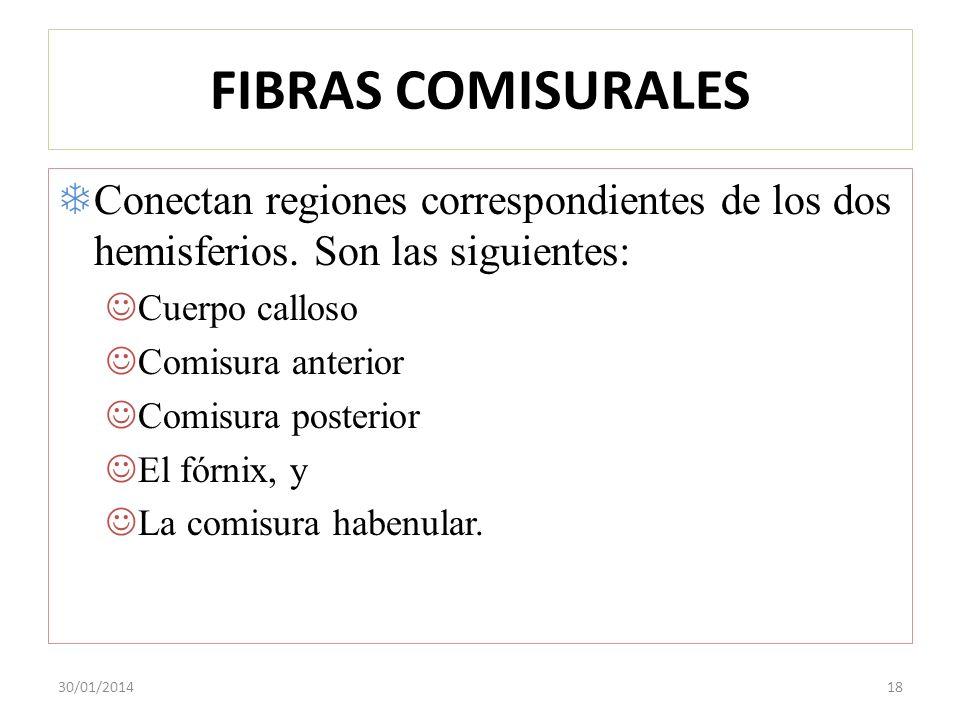 FIBRAS COMISURALES Conectan regiones correspondientes de los dos hemisferios. Son las siguientes: Cuerpo calloso.