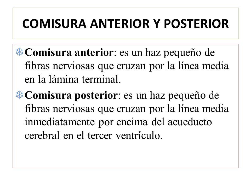 COMISURA ANTERIOR Y POSTERIOR