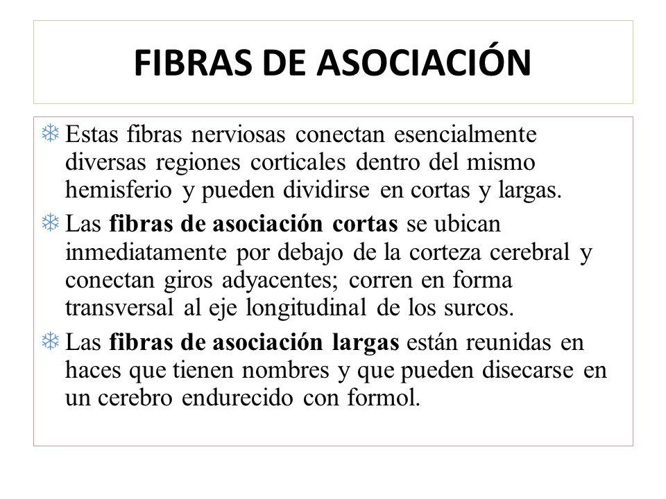 FIBRAS DE ASOCIACIÓN
