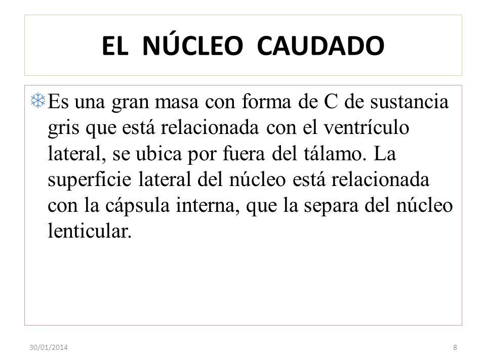 EL NÚCLEO CAUDADO