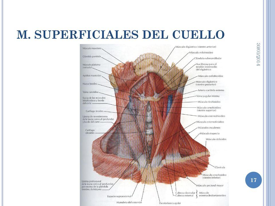 M. SUPERFICIALES DEL CUELLO