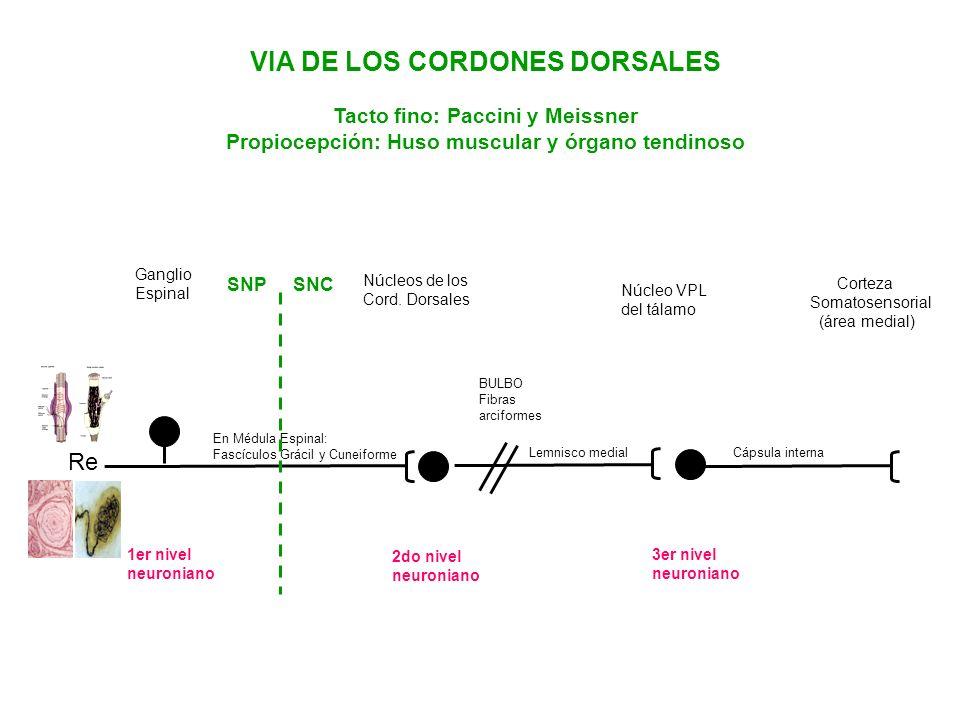 VIA DE LOS CORDONES DORSALES