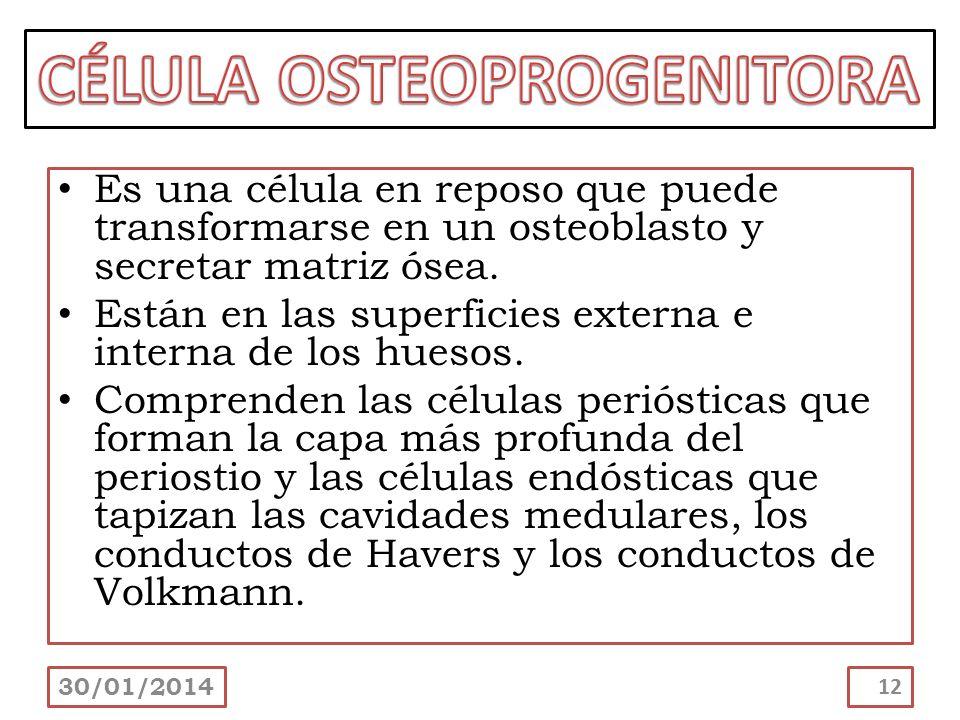CÉLULA OSTEOPROGENITORA