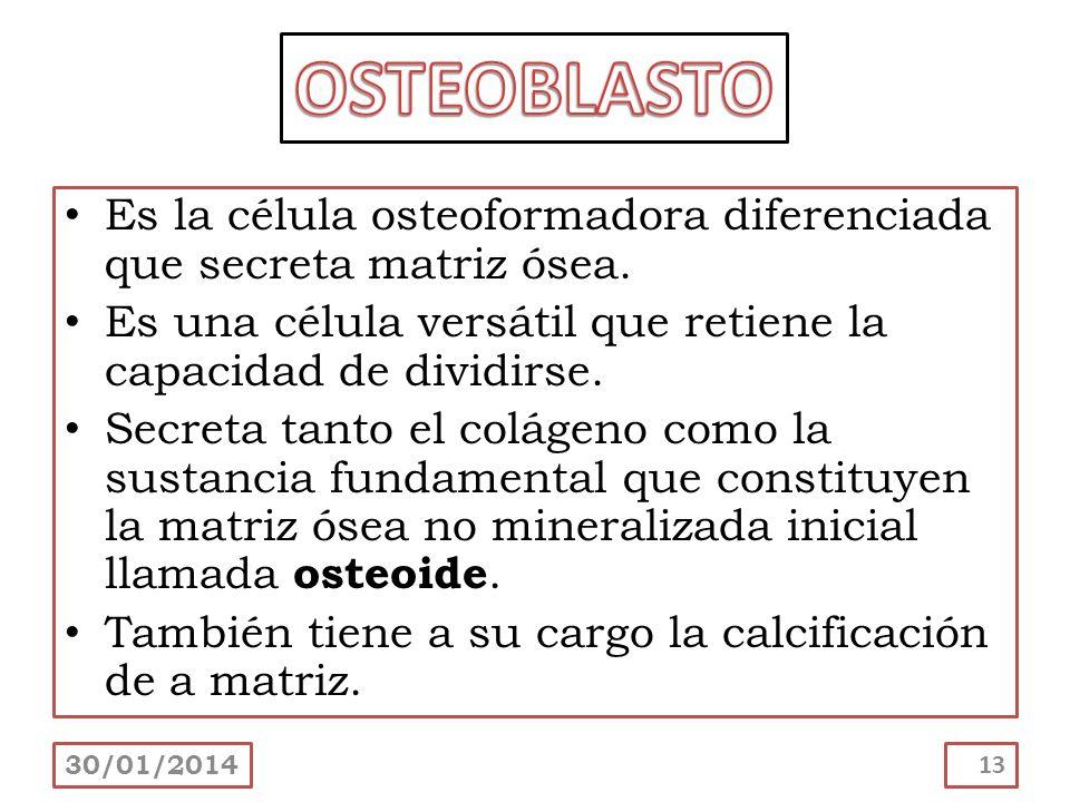 OSTEOBLASTOEs la célula osteoformadora diferenciada que secreta matriz ósea. Es una célula versátil que retiene la capacidad de dividirse.