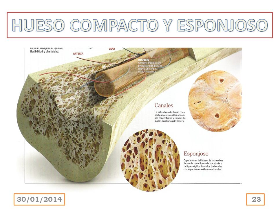 HUESO COMPACTO Y ESPONJOSO