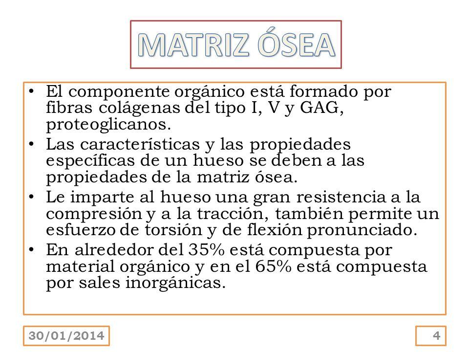 MATRIZ ÓSEAEl componente orgánico está formado por fibras colágenas del tipo I, V y GAG, proteoglicanos.